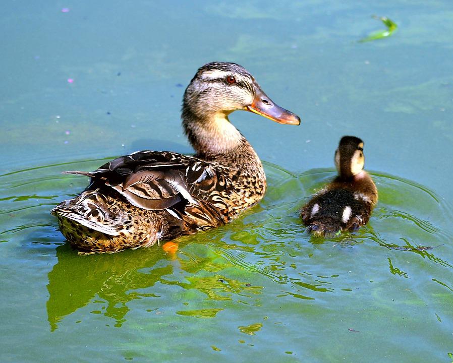 Entenkuecken, Water, Wild Ducks, Duck, Water Bird