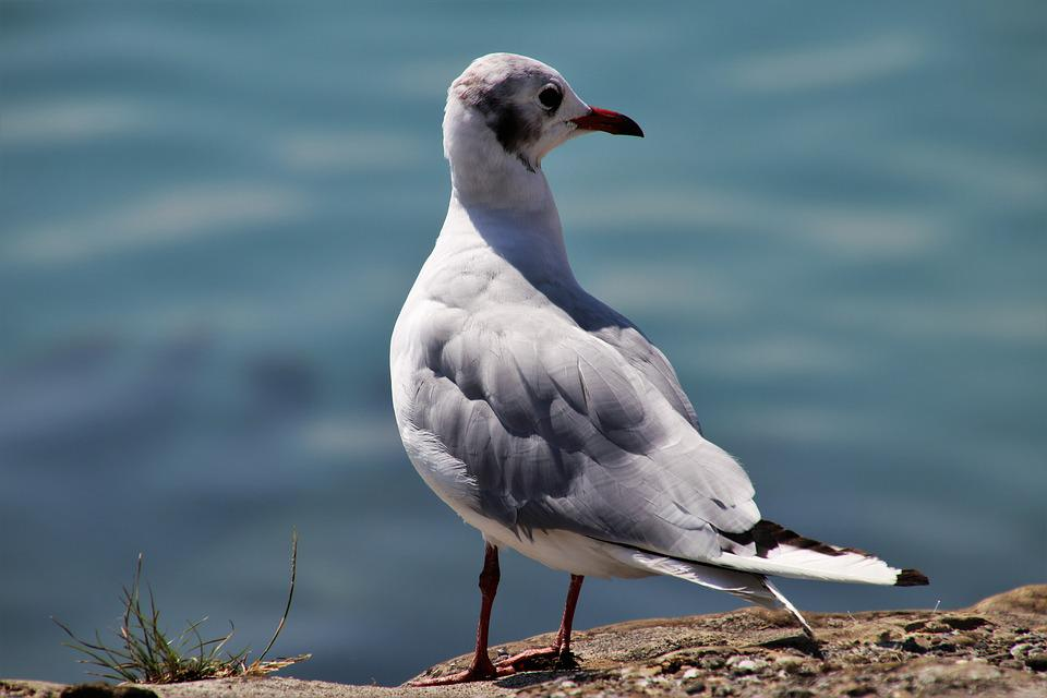 Seagull, Bird, Loser, Pen, Freedom, Water, Nature