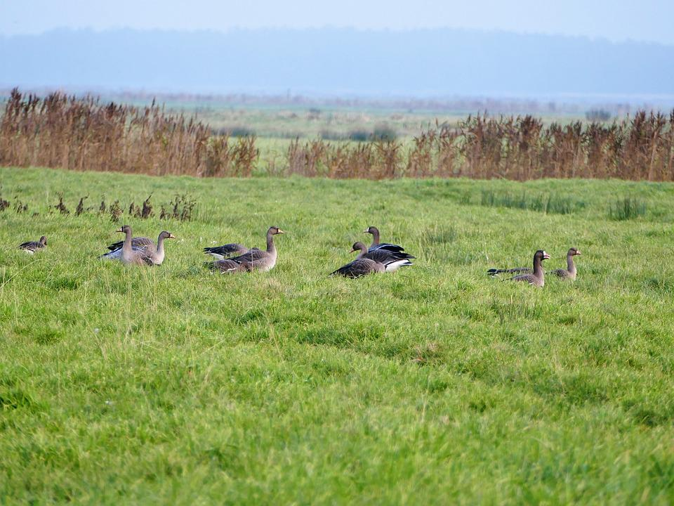 Geese, Migratory Birds, Wild Geese, Water Bird, Birds