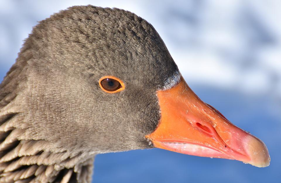 Goose, Water Bird, Wildlife Photography, Animal World
