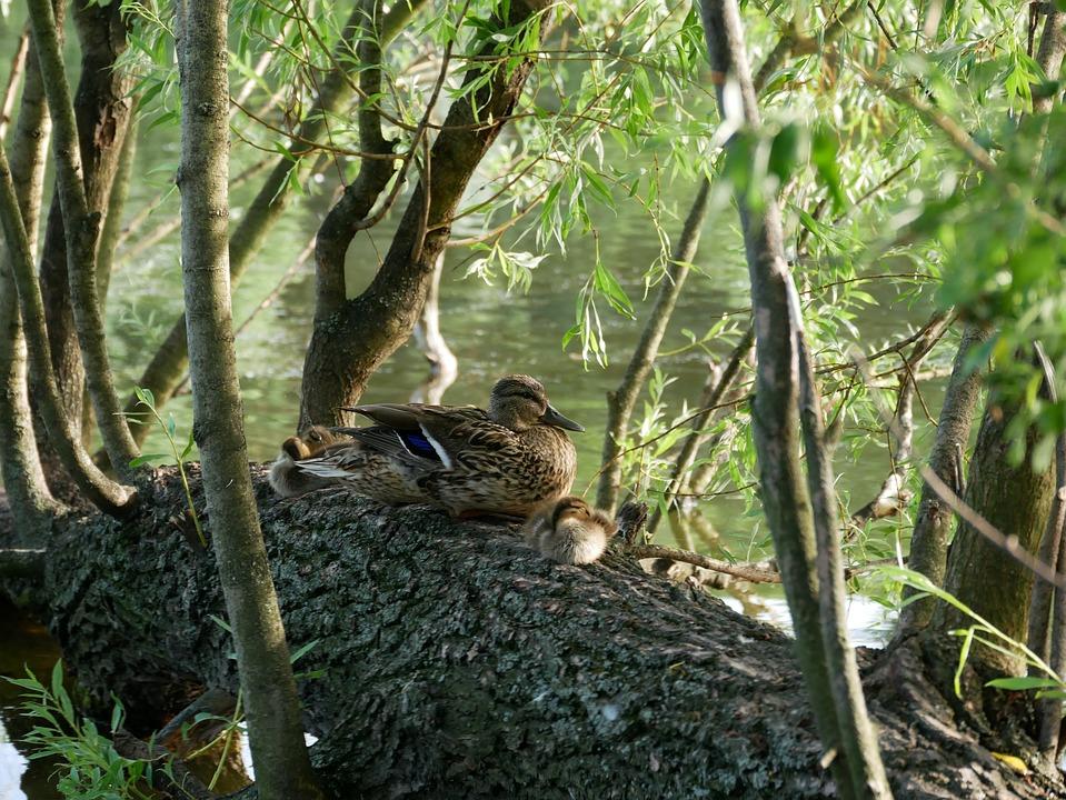 Bird, Goose, Tree, Water