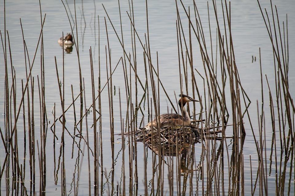 Great Crested Grebe, Nest, Water Bird, Reed, Hidden