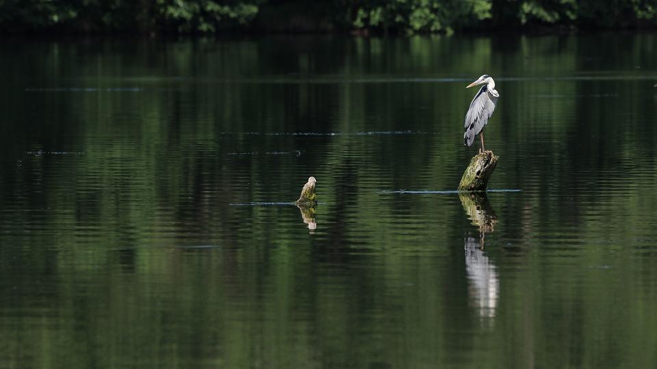 Heron, Lake, Water, Bird, Animal, Grey Heron