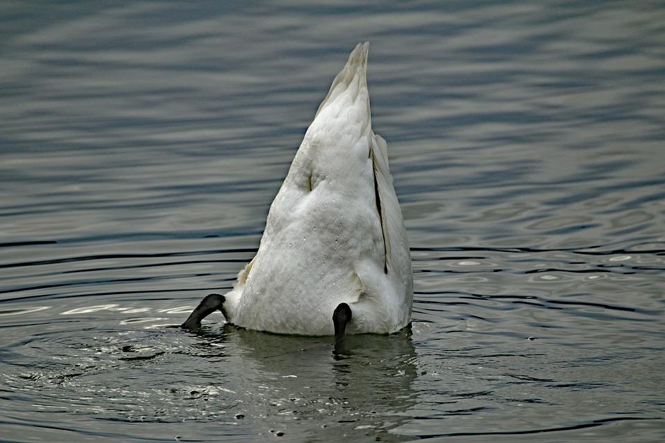 Swan, Water, Lake, Feather, Bird, Plumage, Animal World