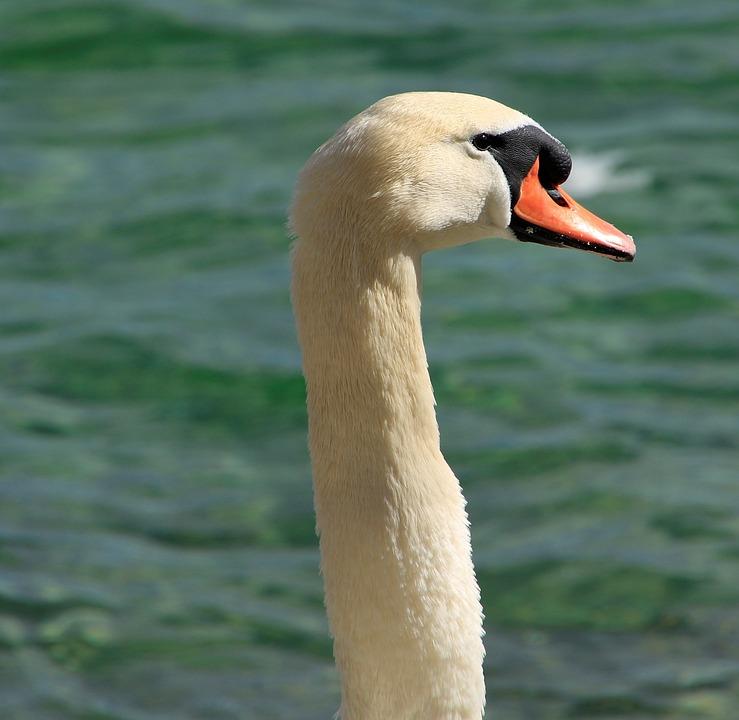 Swan, Bird, Lake Constance, Water Bird, Feather, Lake