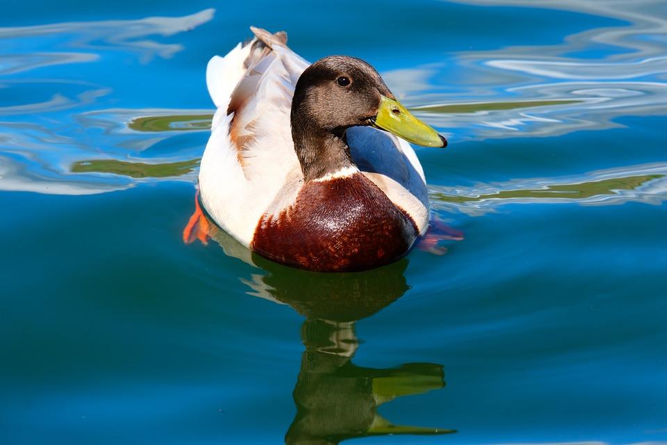 Drake, Duck, Water Bird, Water, Wave, Mallard, Bird