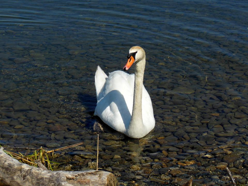 Swan, Lake Constance, Water, Stones, Water Bird, Mood