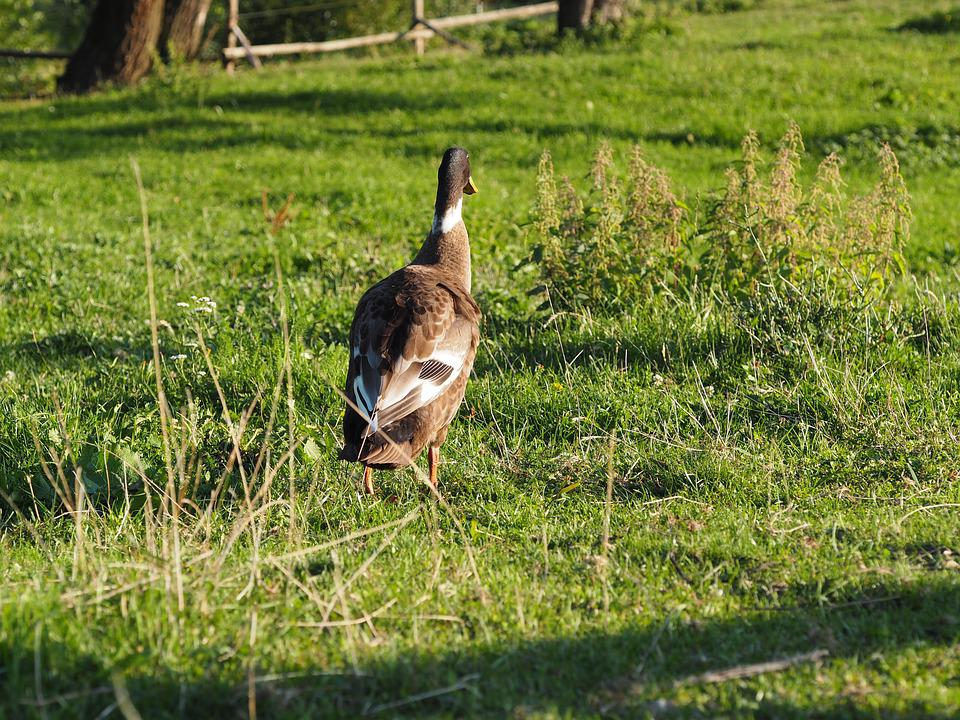 Duck, Goose, Nature, Plumage, Water Bird, Bird