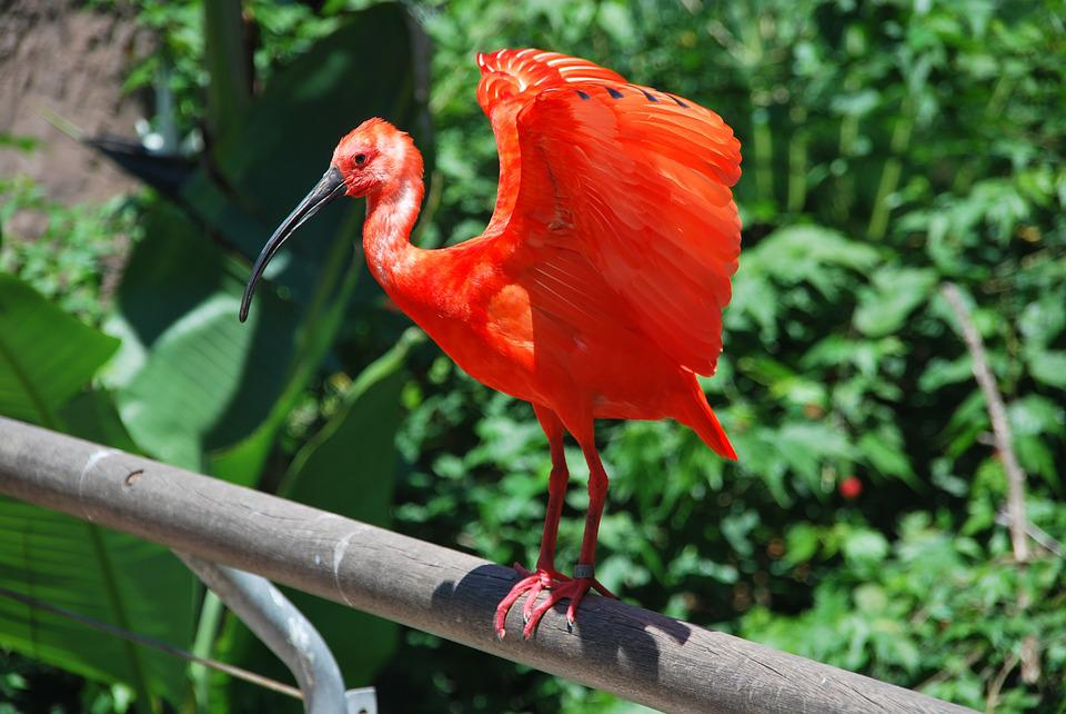 Bird, Water Bird, Heron, Red, Bright Red, Nature