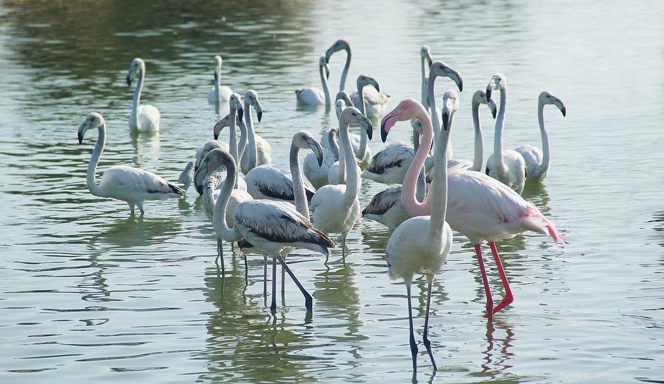 Bird, Water, Nature, Wildlife, Lake, Beautiful, Swan