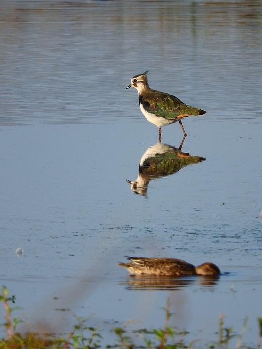 Lapwing, Watt Bird, Mirroring, Nature, Water Bird, Bird