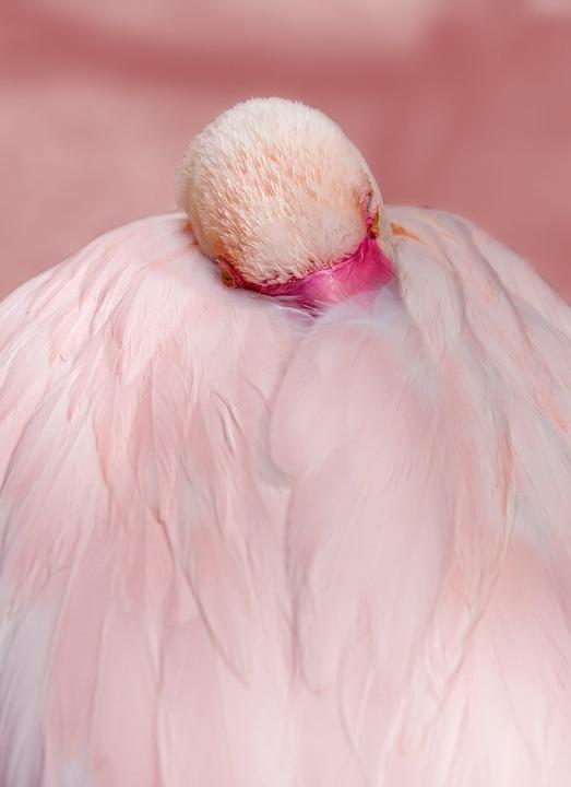 Flamingo, Pink, Bird, Water Bird, Feather