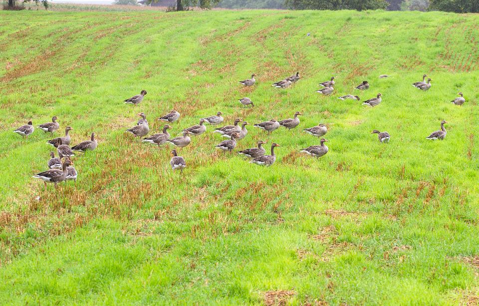 Goose, Greylag Goose, Water Bird, Poultry