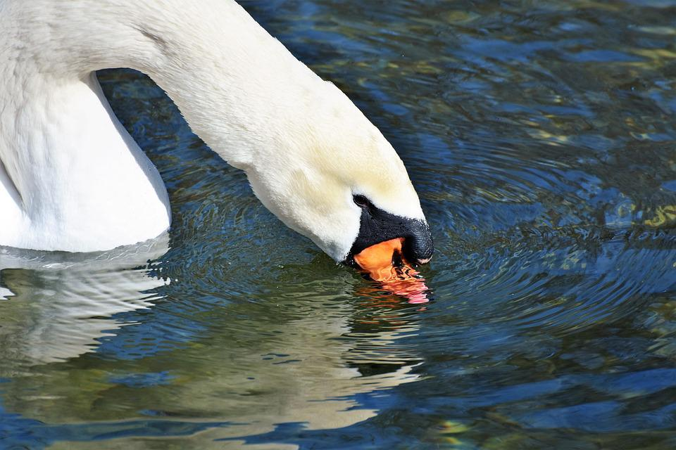 Swan, Water Bird, Schwimmvogel, Pride, Waterfowl, Bird
