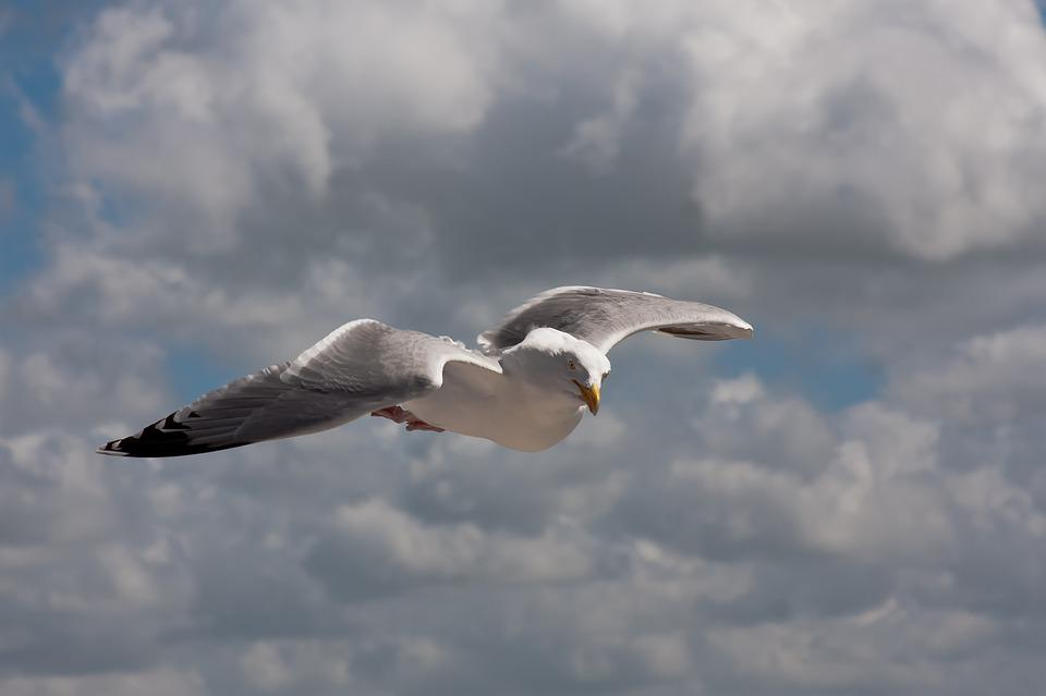 Seagull, Flies, Bird, Water, Water Bird, Animal, Sea