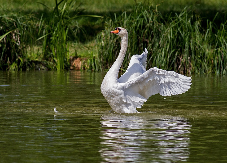 Swan, Water Bird, Animal, Nature, Swim, Swans, Waters
