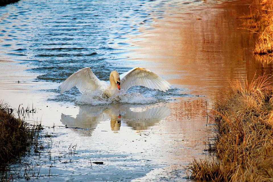 Swan, Waters, Nature, Water Bird