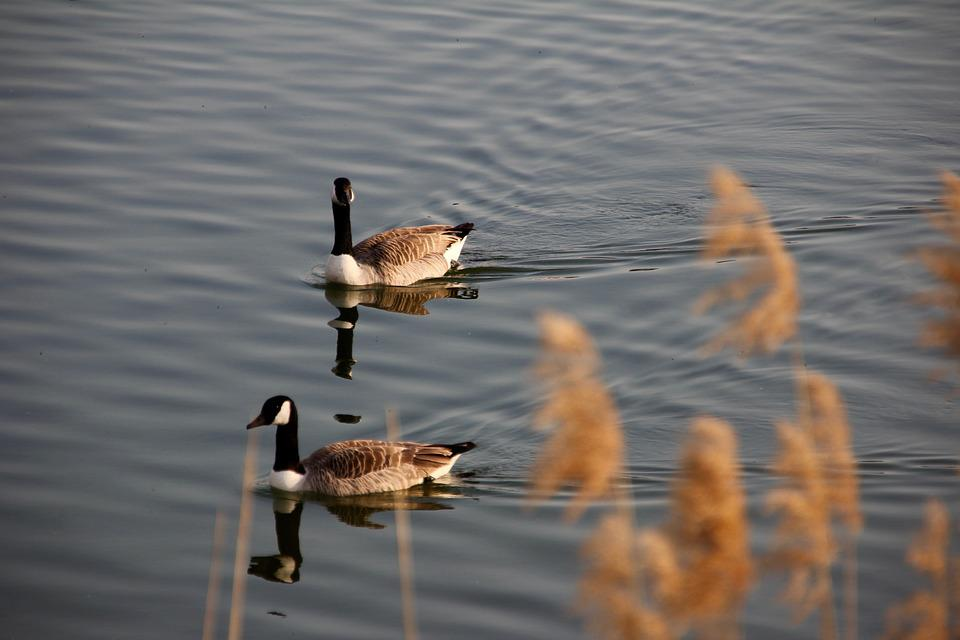 Ganz, Pair, Water, Plumage, Two, Water Bird, Couple