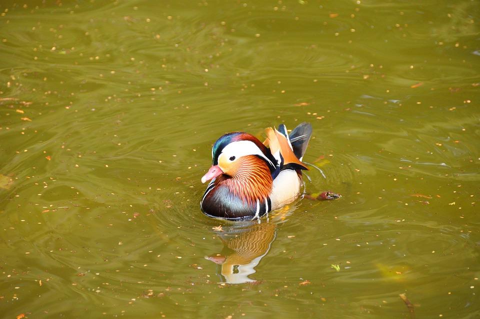 Water, Water Bird, Ducks