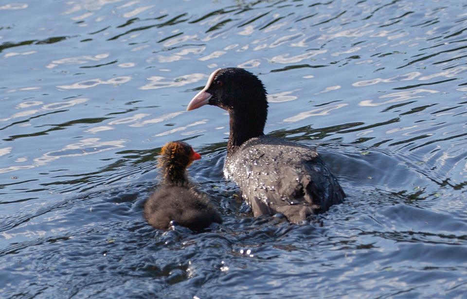 Coot Chick, Ugly Chick, Coot, Water Bird, Waterfowl
