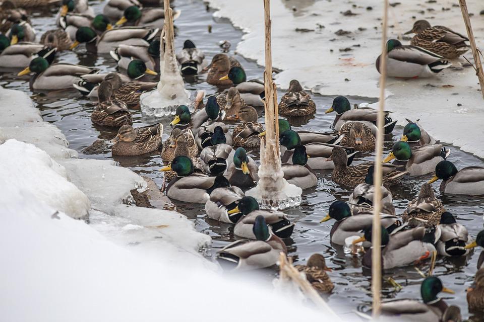 Duck, Mallard, Snow, Bird, Waterfowl, Water Bird