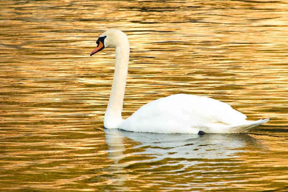 Swan, Mute Swan, Cute, Golden, Water Bird, Bird, White