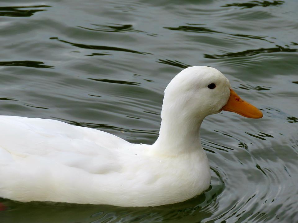 American Pekin Duck, Duck, White, Water, Bird, Swimming
