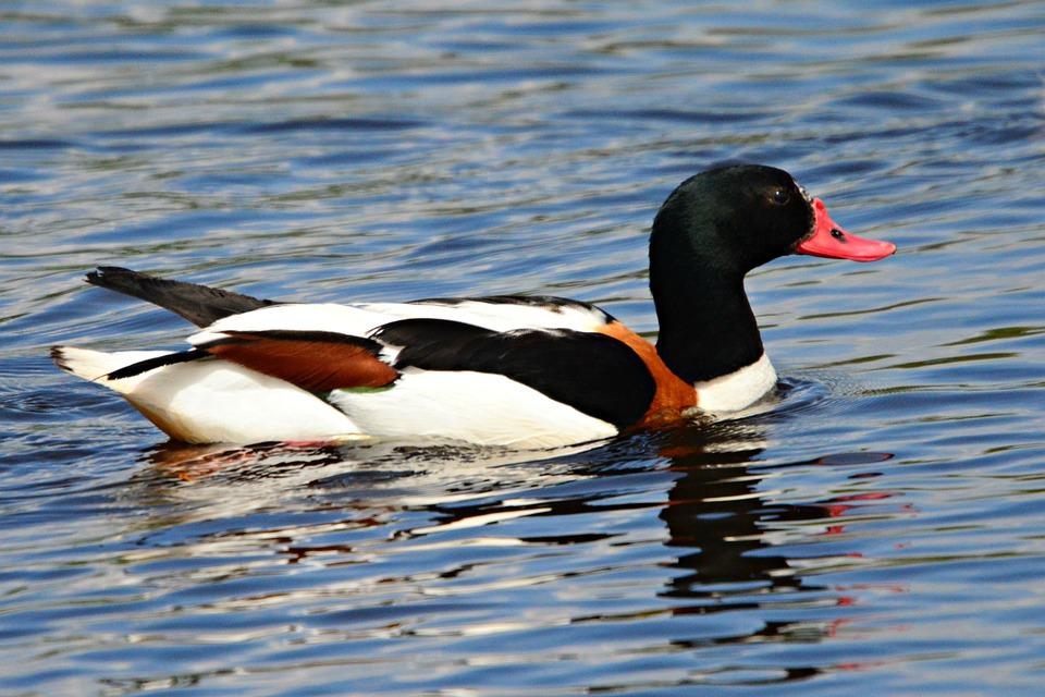 Shelduck, Water Bird, Animal, Wildlife, Swimming