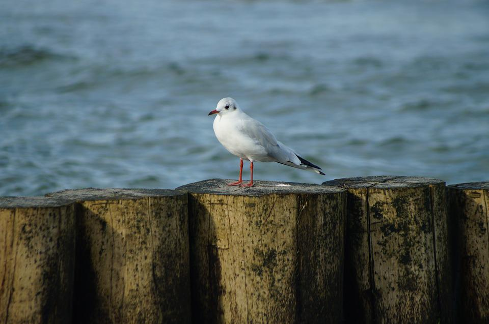 Seagull, Sea, Bird, Animal, Water, Wind, Water Bird