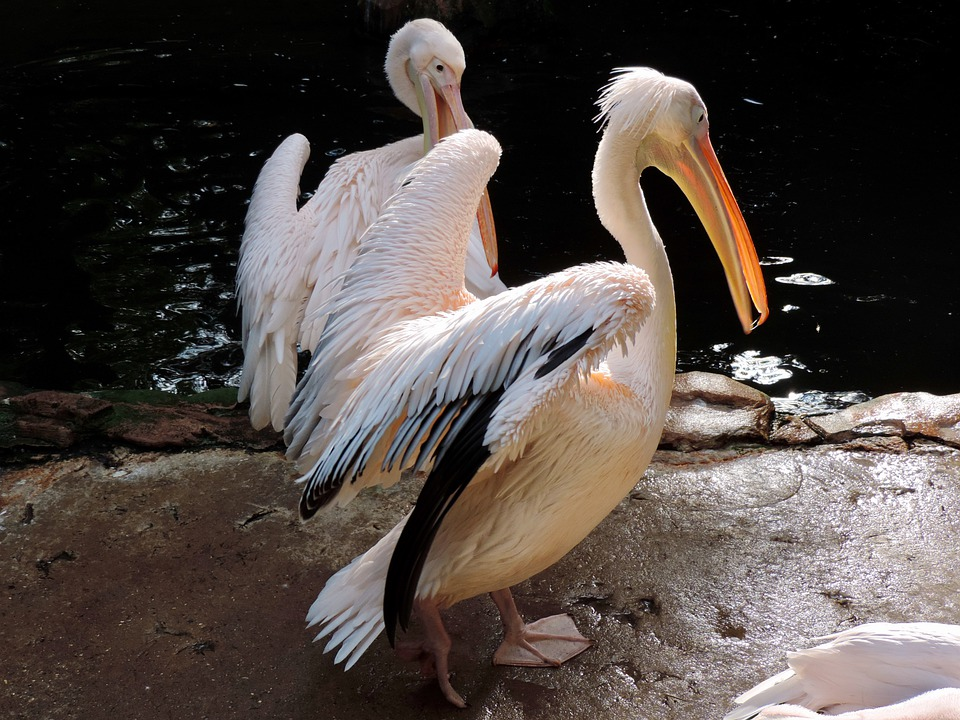 Pelicans, Water Bird, Plumage, Bird, Animal, Bill, Zoo