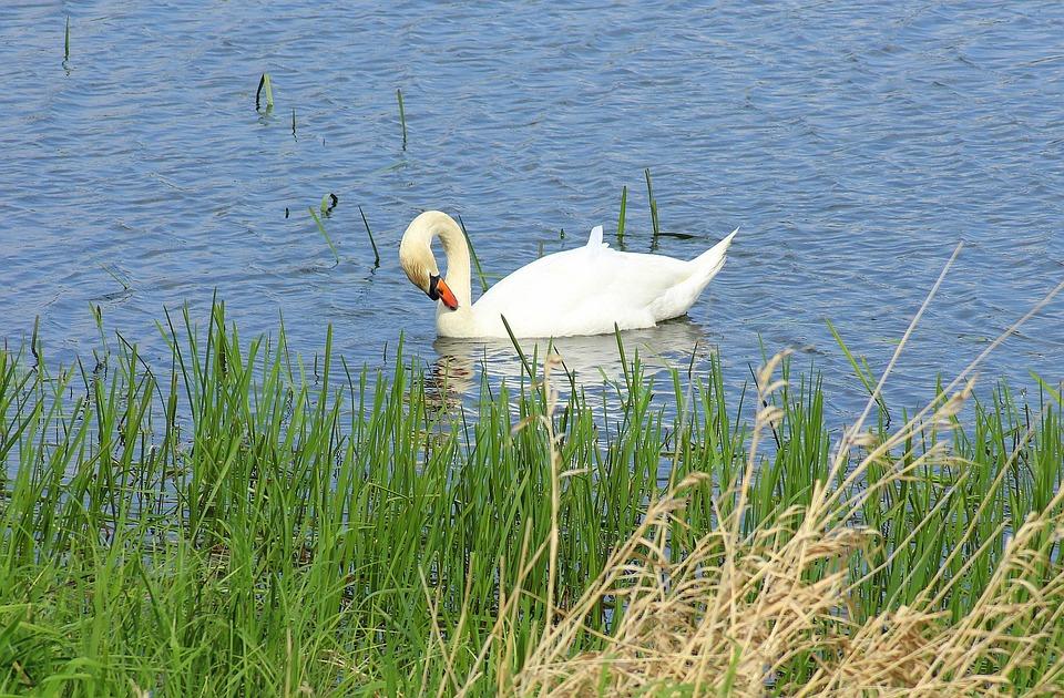 Swan, Water Bird, Wild Birds, Water Birds, Water