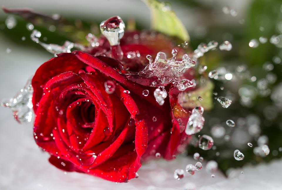 Rose, Drip, Romantic, Water, Red, Blossom, Bloom