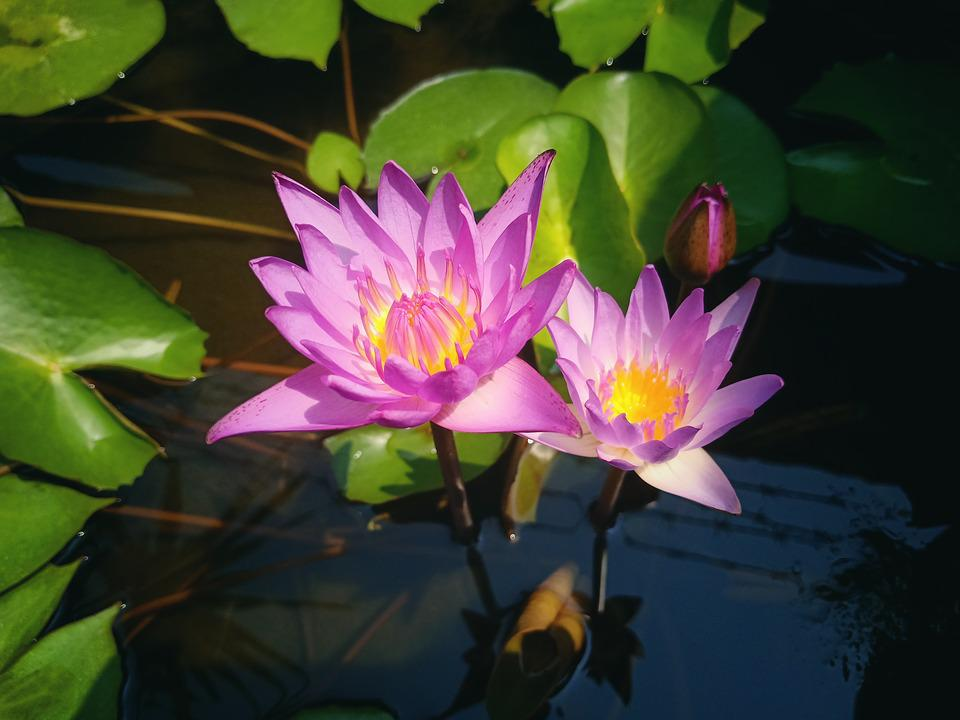 Flower, Lotus, Plant, Background, Blossom, Water