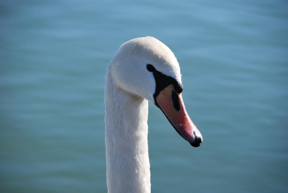 Swan, Lake, Blue, White, Animal, Nature, Water, Bird