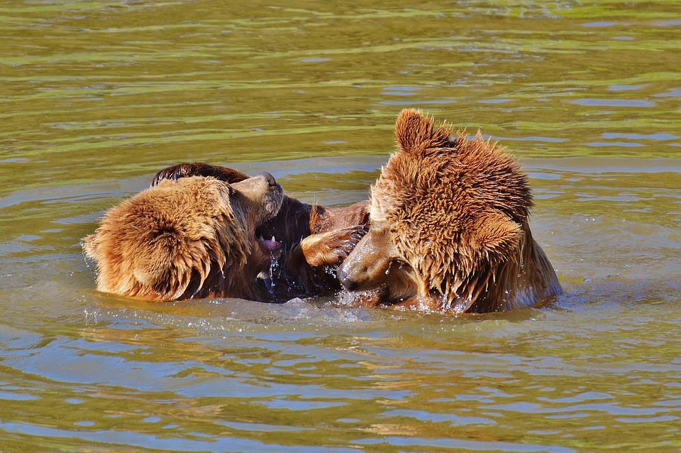 Bear, Wildpark Poing, Play, Water, Brown Bear