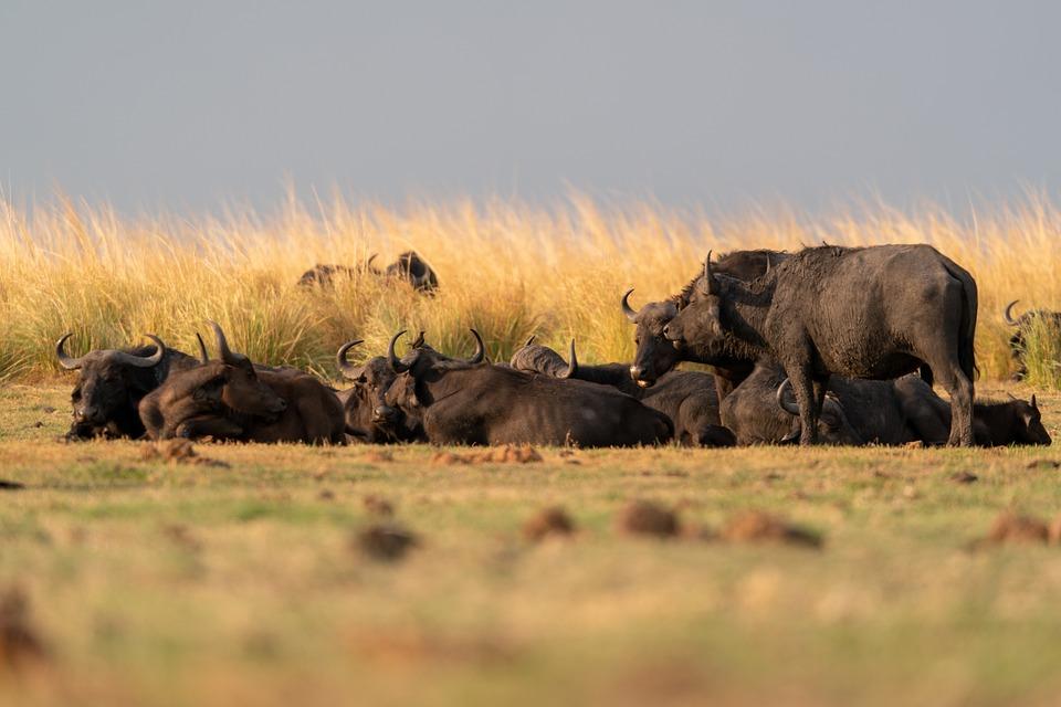 Water Buffaloes, Animals, Safari, African Buffaloes
