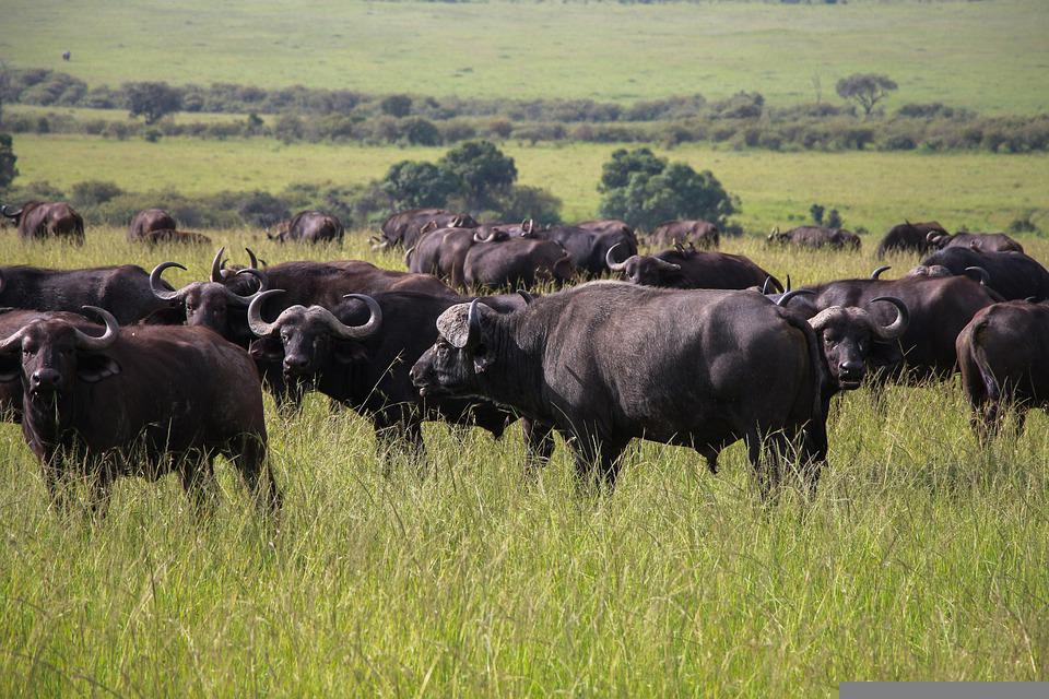 Cape Buffaloes, Animals, Safari, Water Buffaloes