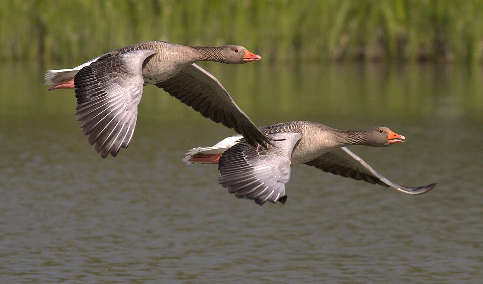 Canada Geese, Geese, Animals, Water, Bird, Bill