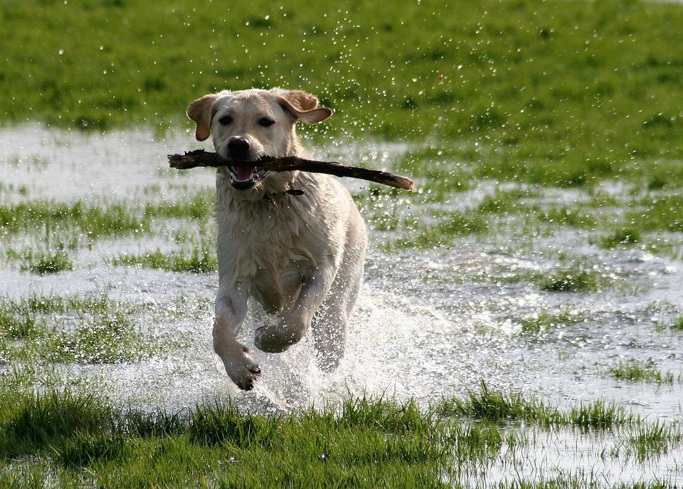 Dog, Labrador, Playing, Water