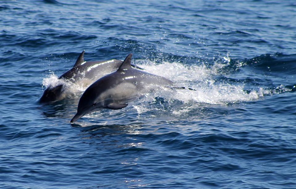 Dolphins, Ocean, Sea, Blue, Water, Splash, Wildlife