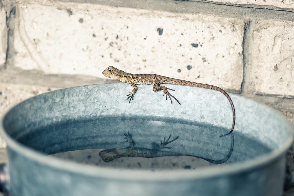 Water Dragon, Bucket, Reflection, Lizard, Water