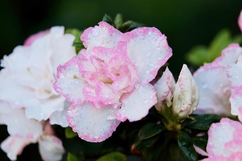 Flower, Rain, Water Drop, Wet, Pink, Petals