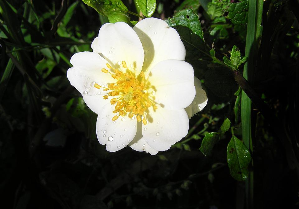 Single, White, Rose, Flower, Water Drops