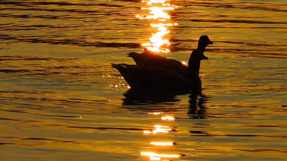 Ducks, Pair Of Ducks, Water, Sunset, Silhouettes