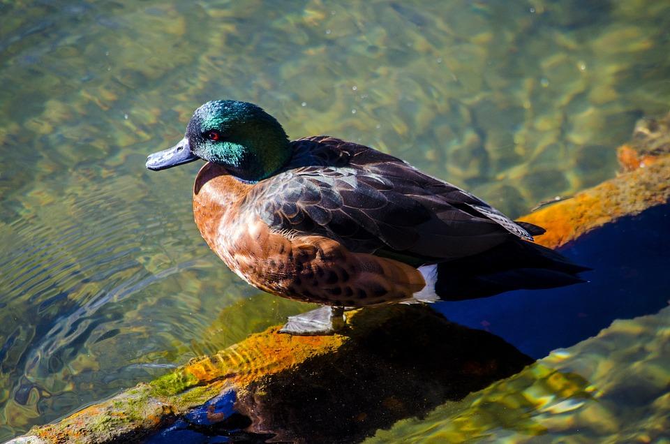 Mandarin Duck, Duck, Water, Feathers, Bird, Waterfowl