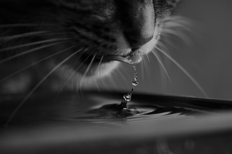Cat, Water, Feline, Wild, Tiger, Black And White