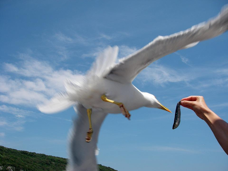 Seagull, Sea, Bird, Fish, Hand, Feed, Animal, Water