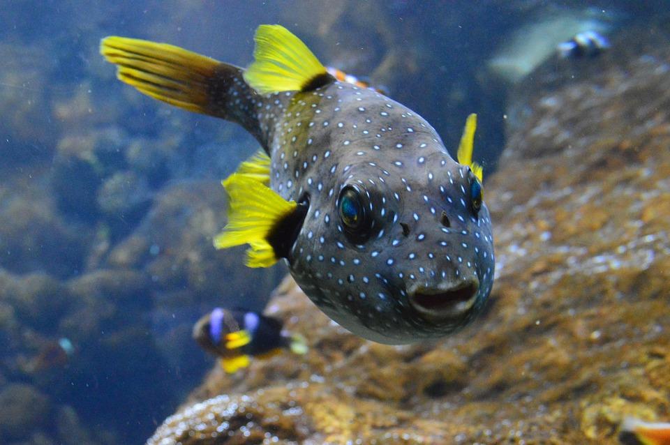 Puffer Fish, Fish, Fins, Water, Animal, Ocean