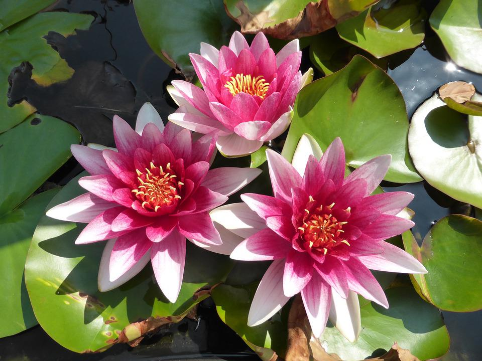 Flower, Lily, Lotus, Pond, Water Flower