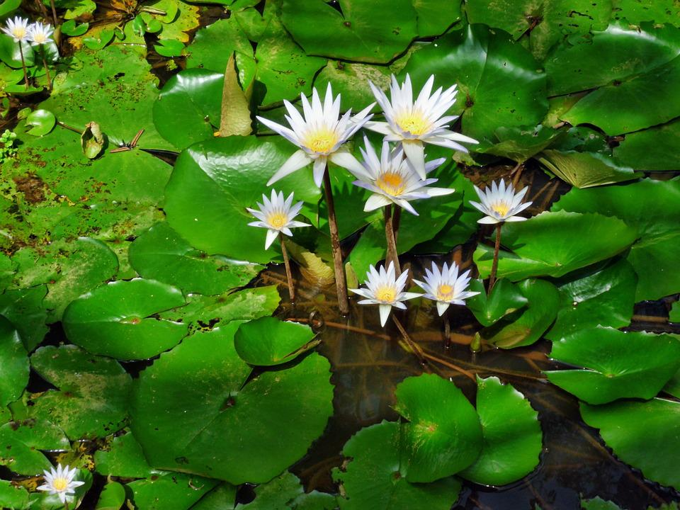 Water, Lily, White, Flower, Nature, Beauty, Plant